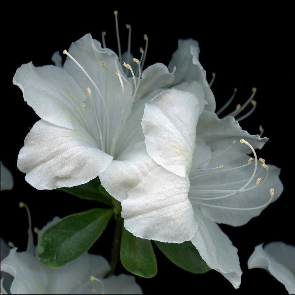Reflections: White Azaleas
