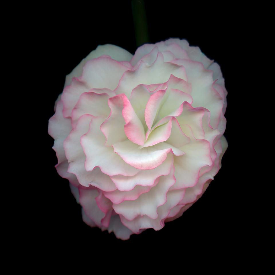 Small Begonia