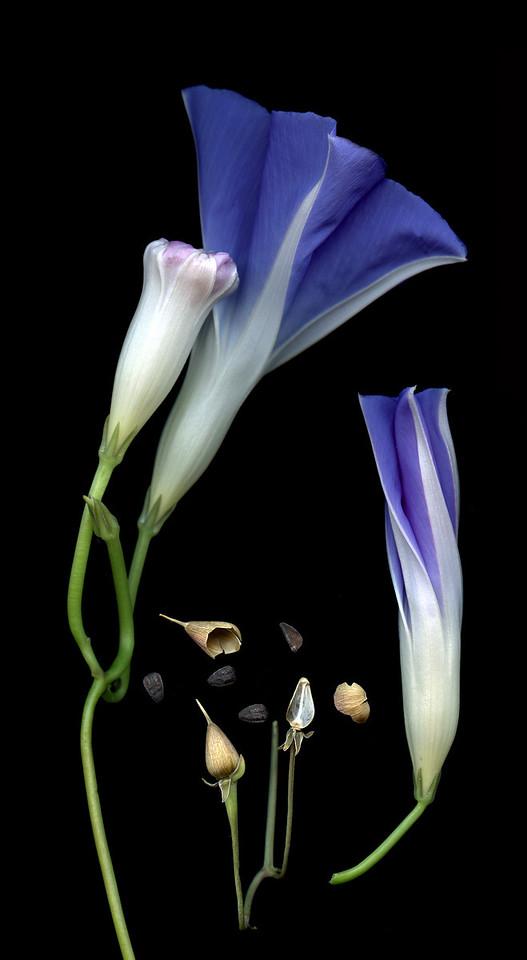 Rhapsody in Blue: Morning Glories