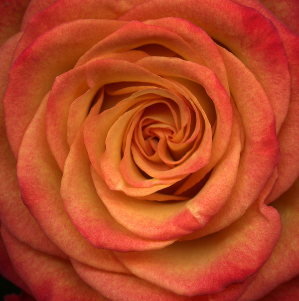 Vortex: Orange Rose