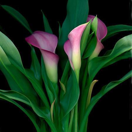 Paso Doble: Calla Lilies