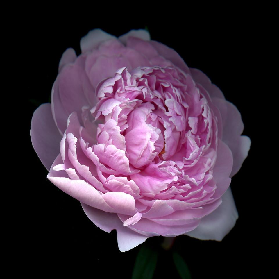 Primavera: Pink Peony