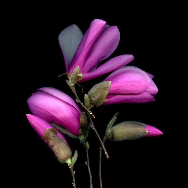 Satori: Magnolia Blossoms