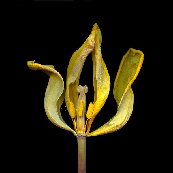 Orpheus: Yellow Tulip