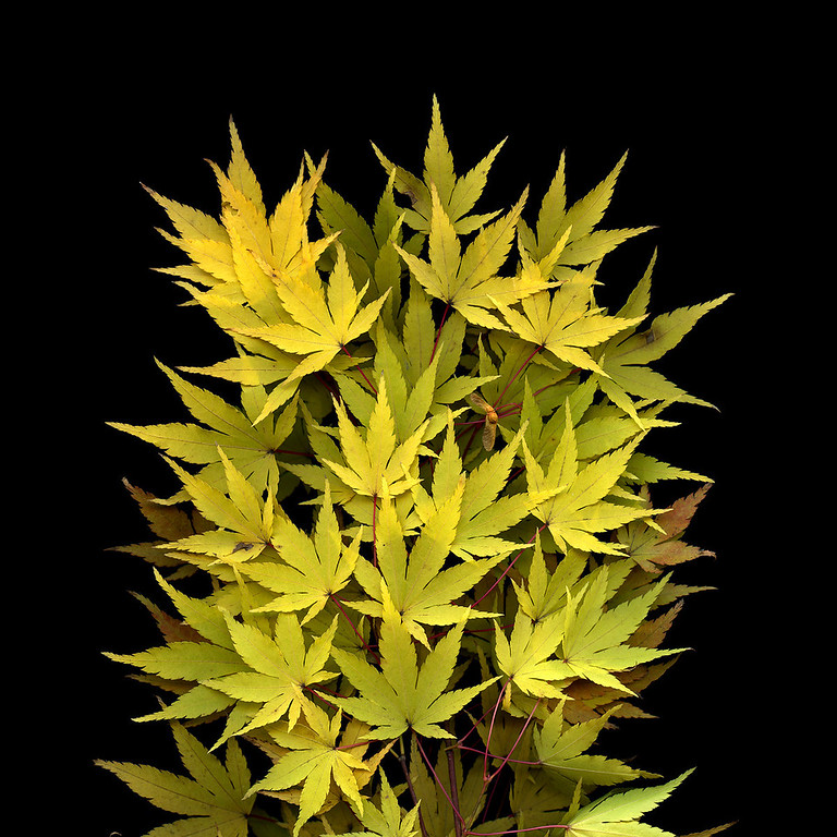 Autumn Fireworks: Japanese Maple Leaves