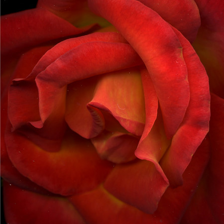 Harlot: Arizona Red Rose
