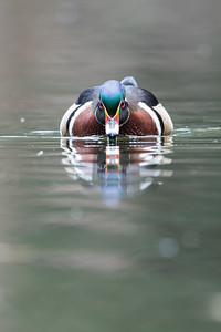 #614 Wood Duck