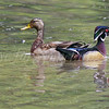 Wood Duck and Mallard