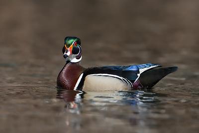 #934 Wood Duck