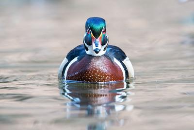 #584 Wood Duck
