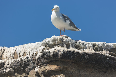 Seagull Overlooking the Penguins (June 2016)