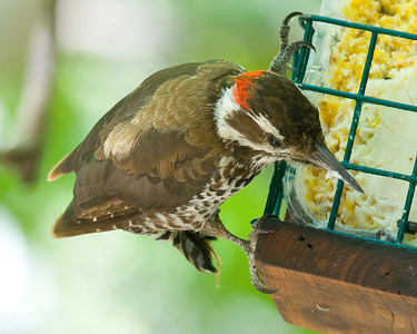 Arizona Woodpecker Madera Canyon