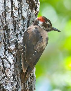 Arizona Woodpecker, Madera Canyon