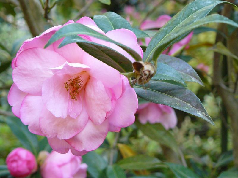 Harriet Crisp: camellia bloom