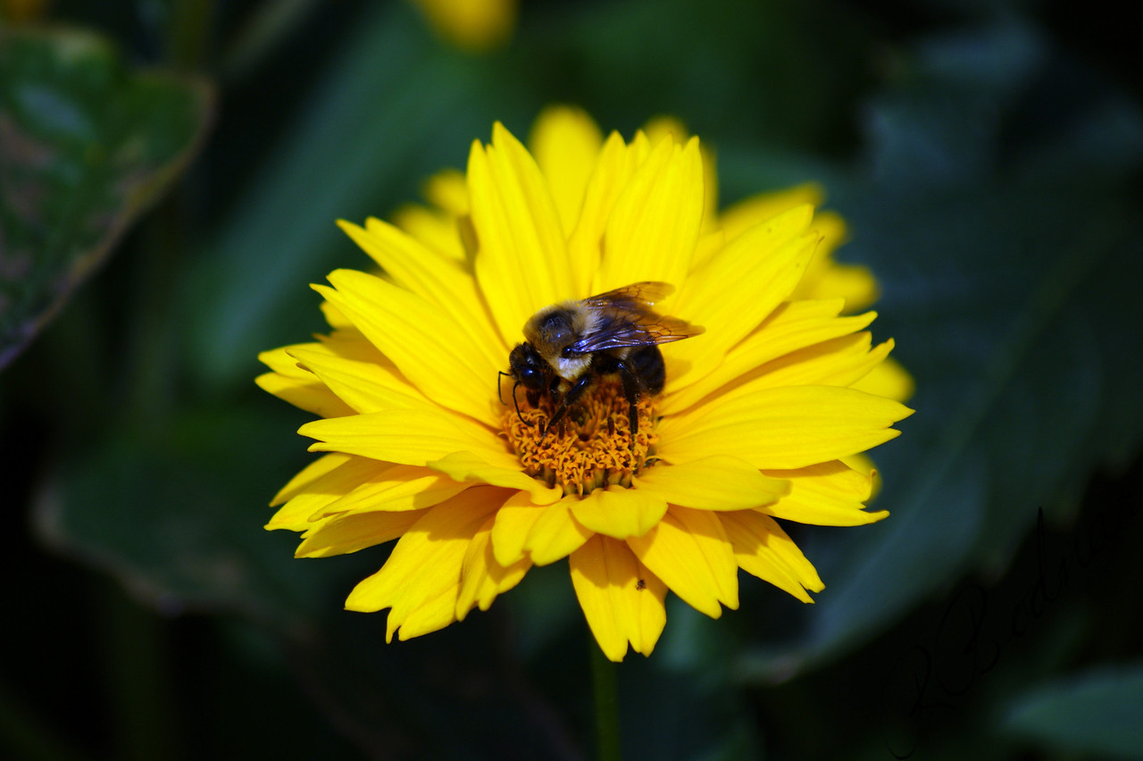 Photo By Bob Bodnar......................................................Bumble Bee Flower