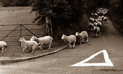 Welsh Sheep Running