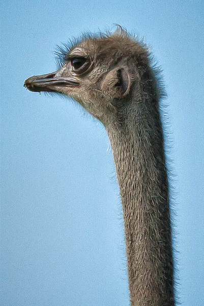 An Ostrich only a mother could love.