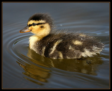 ickle ducky