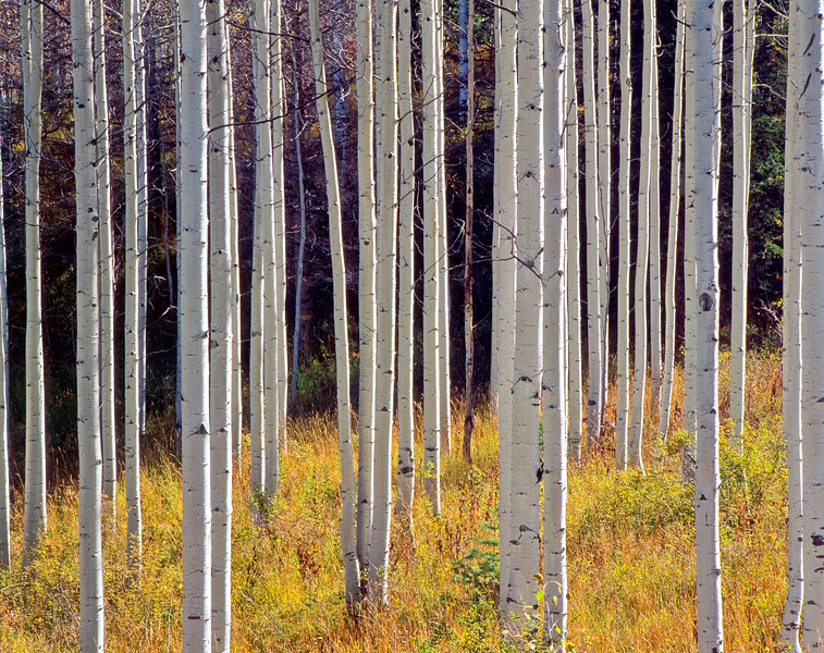 Aspen Trunks, Alpine Loop
