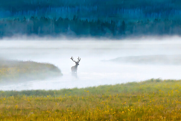 Elk at early morning light - Yellowstone National Park