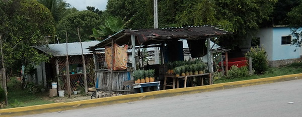 Pinapple vendors are everywhere on the roads in Costa Maya.