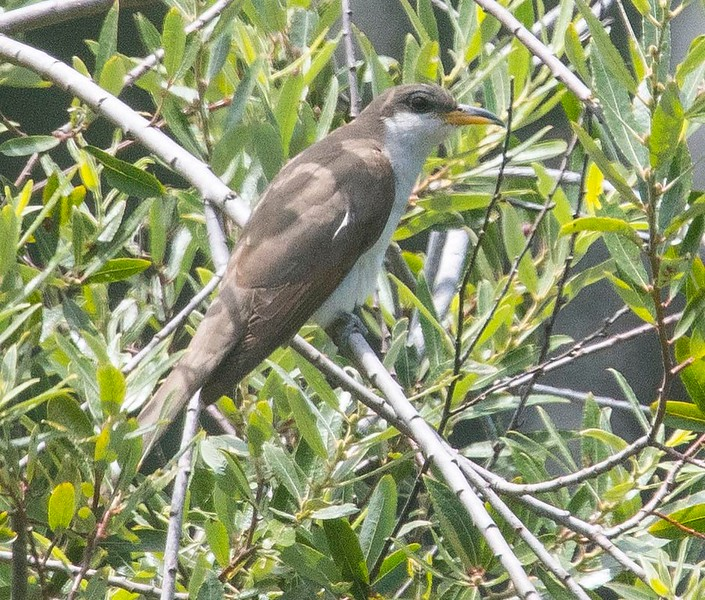This is one of the most endangered birds in the west.  They used to be common and were found in Mission Valley.