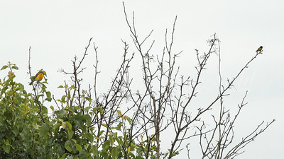 Yellow-breasted Chat and Ruby-throated Hummingbird