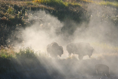 Bison Kicking Up Dust Going Down to River