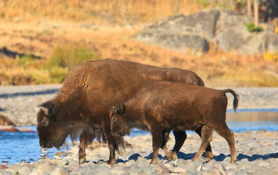 Female Bison and Calif