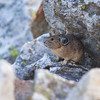 Pika, Grand Teton National Park