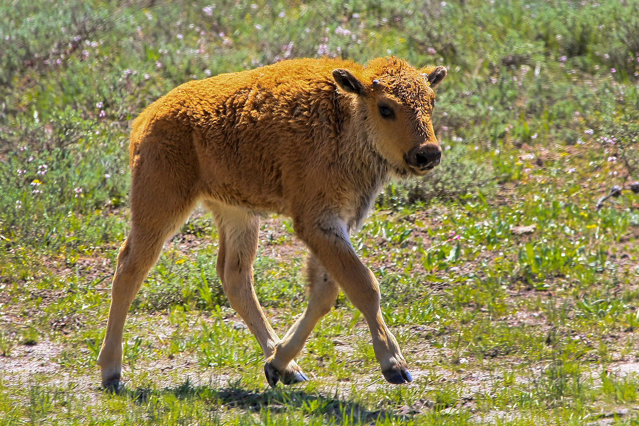 Bison Calf looking for mother