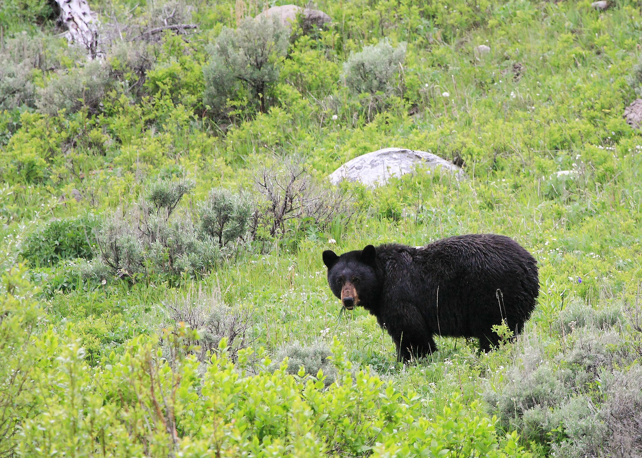 Black Bear in Lamar Valley