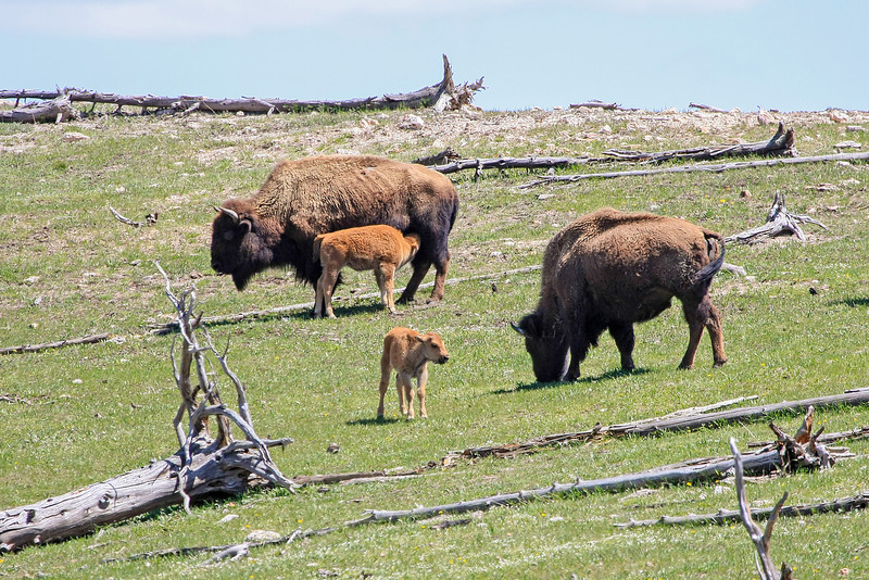 Bison and Nursing Calf off of Fountain Flats Dr