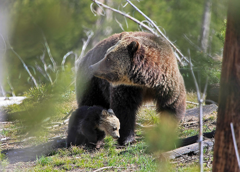 Grizzly Mom and Cub near Canyon Junction