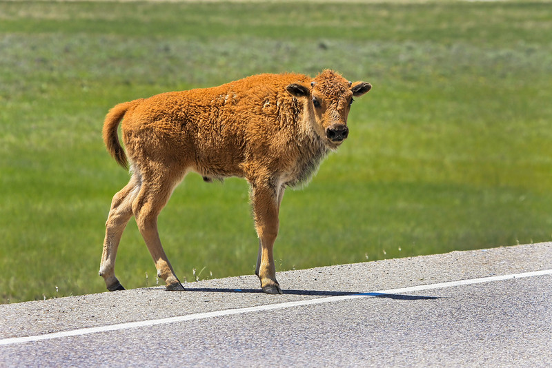 Bison Calf on road