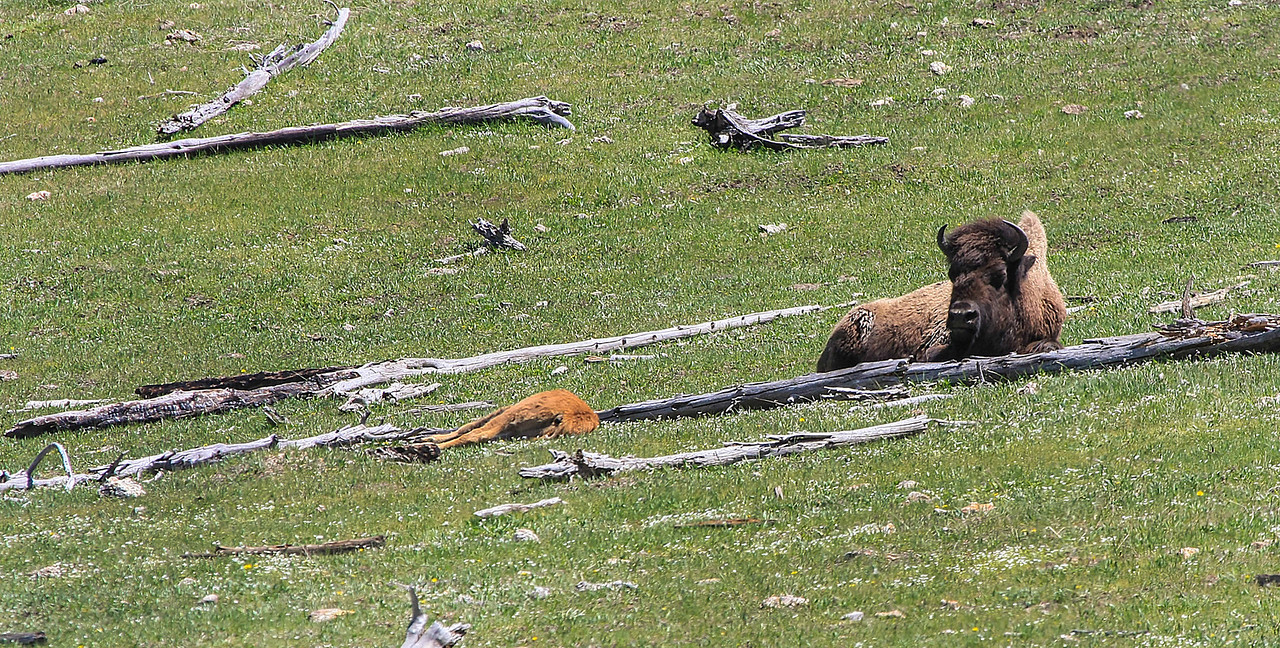 Bison and Calf resting off of Fountain Flats Dr