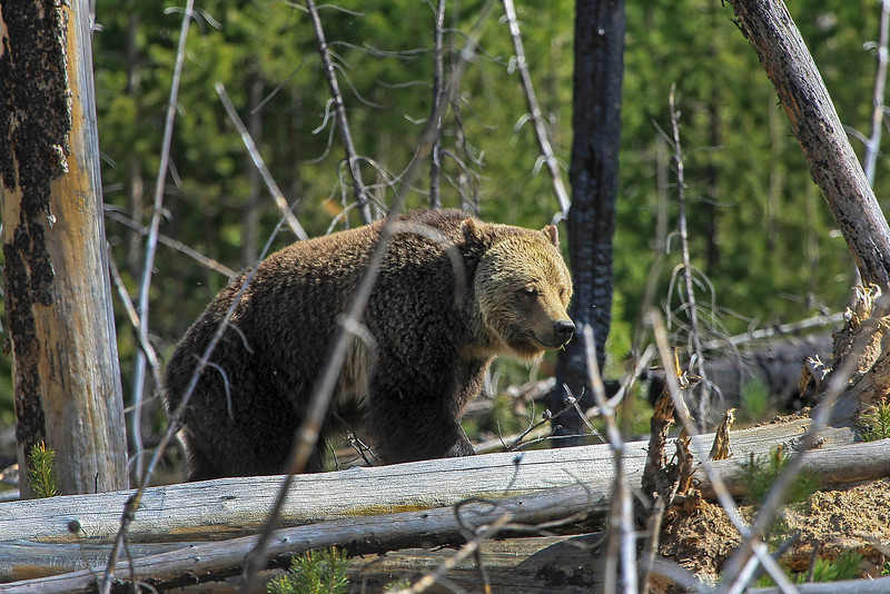 Grizzly Mom in Woods near Canyon Junction