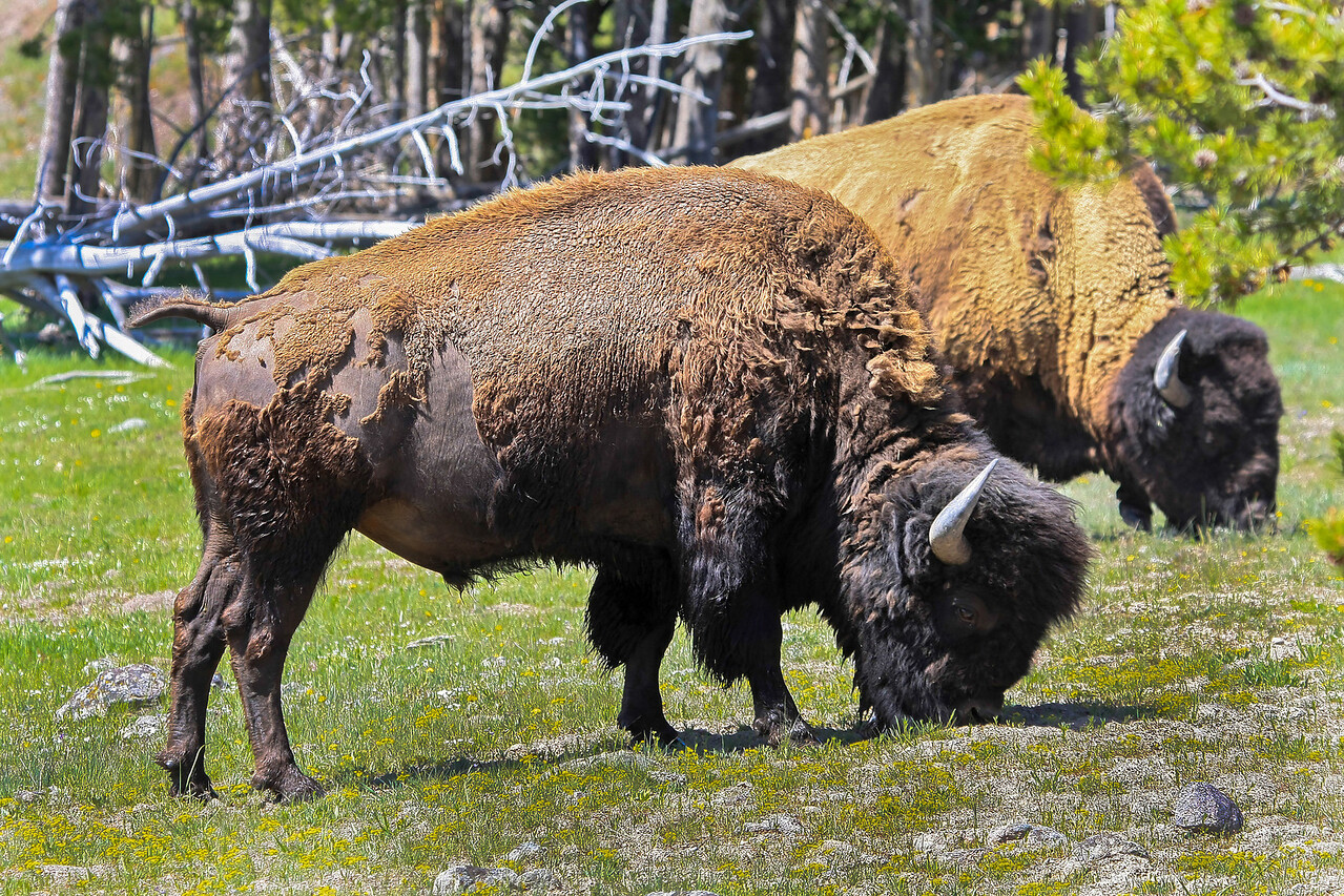 Bison near Fountain Flats Rd and Grand Loop Rd Junction