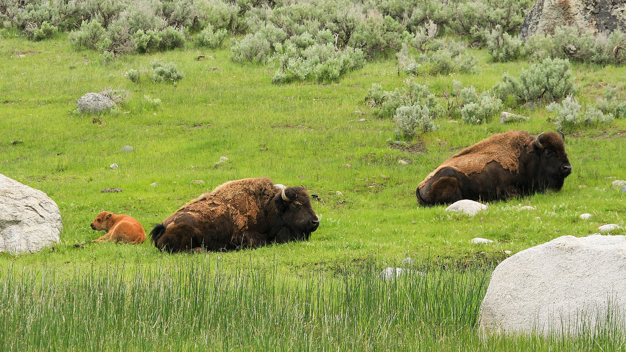 Bison and Calf in Lamar Valley