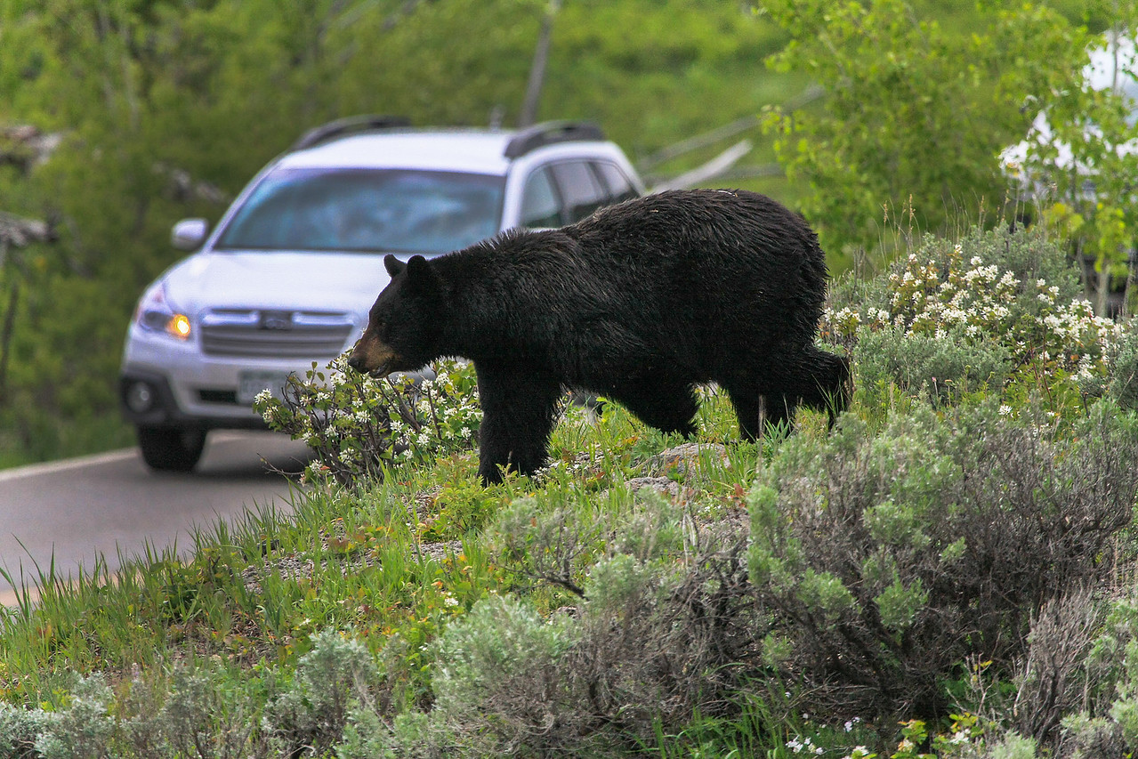 Black Bear Road Crossing near Tower Junction
