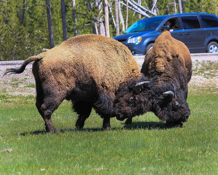 Bison Sparring at Junction of Grand Loop Rd and Fountain Flats Rd