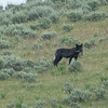 Another Black Wolf