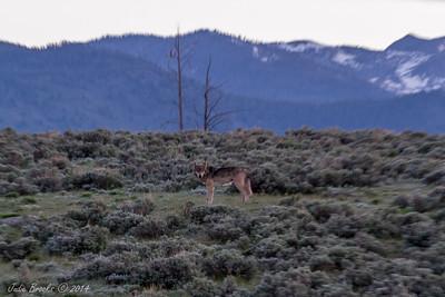 Wolf Lamar Valley Yellowstone National Park