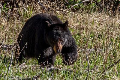 Black Bear Yellowstone National Park