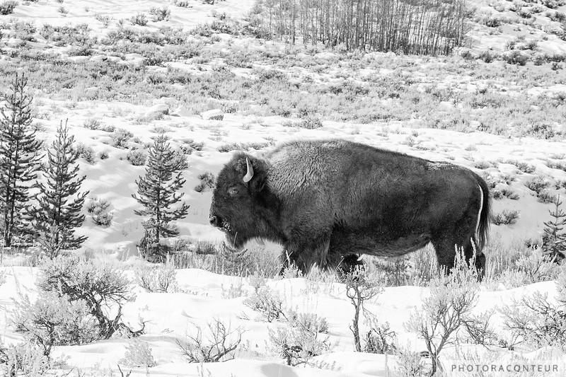 Grand Buffalo