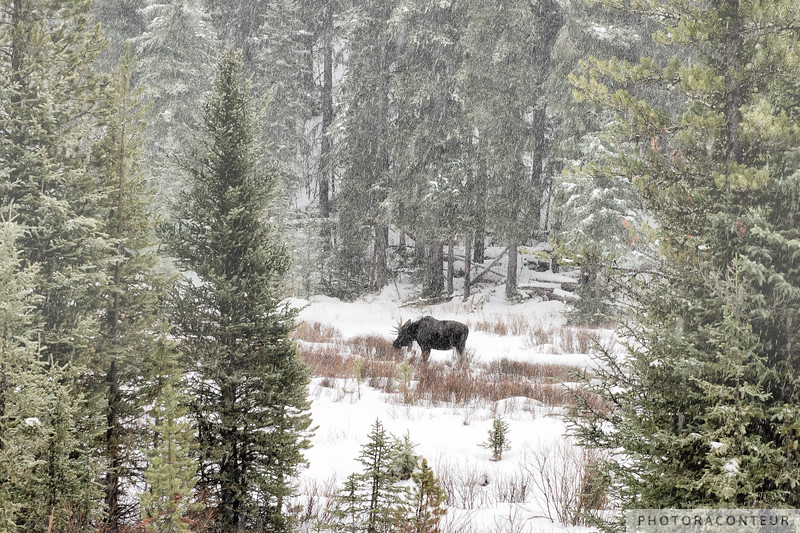 Moose at Soda Butte