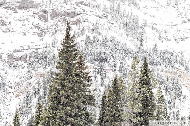 Yellowstone Evergreen