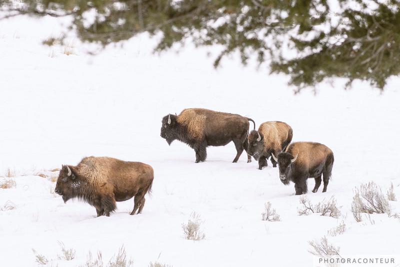 Buffalo Formation