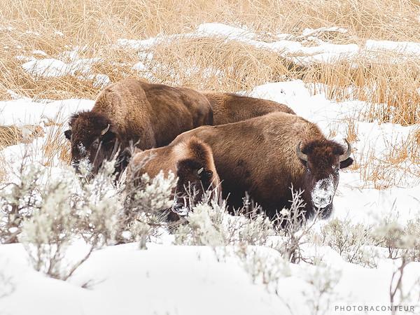 Buffalo Bunch
