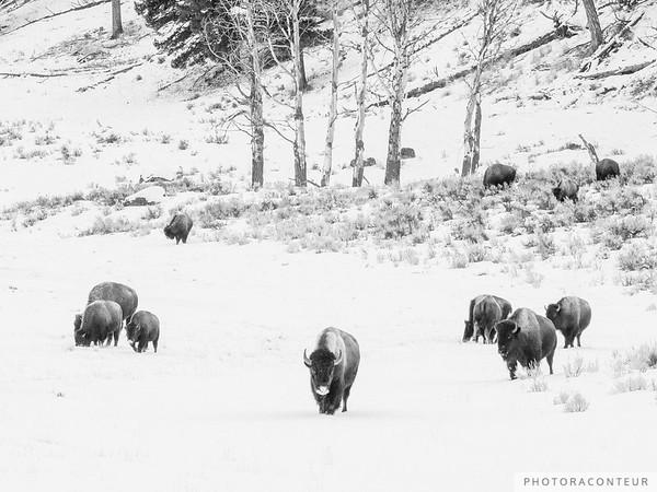 Buffalo Forest